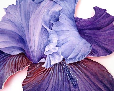 Schwertlilie Aquarell auf Bütten